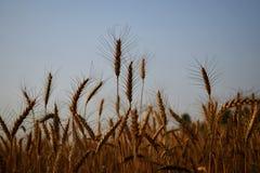 麦子庄稼 库存照片