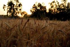 麦子庄稼 免版税库存图片