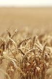 麦子接近在农田 免版税库存图片