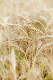麦子接近  库存图片