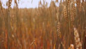 麦子摇摆在风被隔绝的slowmo的金茎 影视素材