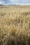 麦子播种与多云有风天空的领域 库存照片