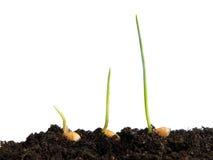 麦子播种萌芽 免版税库存图片