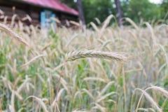 麦子收获的时期  免版税图库摄影