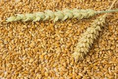 麦子的两个小尖峰 免版税库存图片