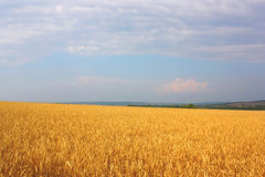 麦子的域 库存图片