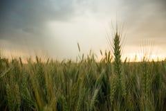 麦子的小尖峰在一个领域的与五谷,反对背景灰色,蓝色,暴风云,夏天 免版税库存图片