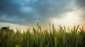 麦子的小尖峰在一个领域的与五谷,反对背景灰色,蓝色,暴风云,夏天 免版税库存照片