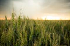 麦子的小尖峰在一个领域的与五谷,反对背景灰色,蓝色,暴风云,夏天 库存图片