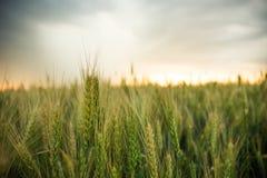 麦子的小尖峰在一个领域的与五谷,反对背景灰色,蓝色,暴风云,夏天 库存照片