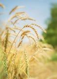 麦子的小尖峰在夏天 库存照片