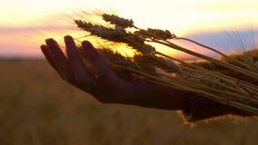 麦子的小尖峰在女孩的手上日落的 股票录像