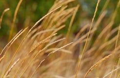 麦子的小尖峰在秋天领域的 免版税库存图片