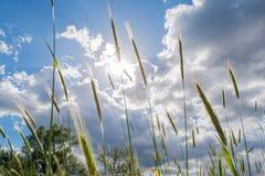 麦子的小尖峰在领域的在多云天空下在村庄 免版税库存照片