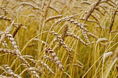 麦子的小尖峰在麦田的 免版税图库摄影
