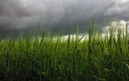 麦子的小尖峰在暴风云背景的  免版税库存照片