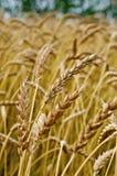 麦子的小尖峰以麦田为背景的 免版税库存照片