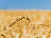 麦子的小尖峰 库存图片