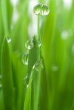 麦子的幼木 库存图片