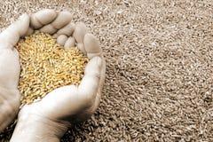 麦子的心脏 免版税库存照片