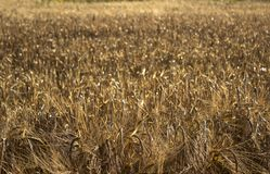 麦子的成熟小尖峰在一个领域的在日落 农业 免版税库存照片