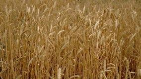 麦子的成熟耳朵在领域的 股票录像
