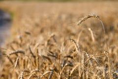 麦子的成熟耳朵 免版税库存图片