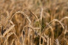 麦子的成熟耳朵 免版税图库摄影