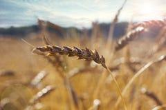 麦子的成熟金黄耳朵在领域的在阳光下 库存图片