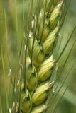 麦子的接近的工厂 免版税库存图片