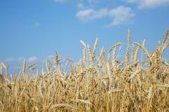 麦子的有机金黄成熟耳朵在领域的 库存图片