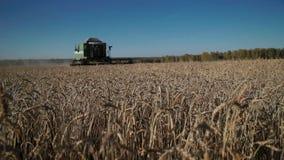 麦子的特写镜头耳朵,横跨领域的联合收割机乘驾和收获麦子 对场面的场面 股票录像