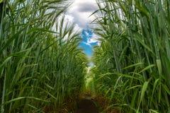 麦子的绿色小尖峰反对天空蔚蓝和灰色云彩的 库存照片