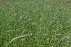 麦子的绿色小尖峰在领域的在多云天空下在村庄 图库摄影