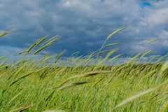 麦子的绿色小尖峰在领域的在蓝色多云天空下在村庄 免版税库存图片