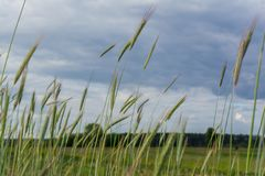 麦子的绿色小尖峰在领域的在黑暗的多云天空下在村庄 库存图片