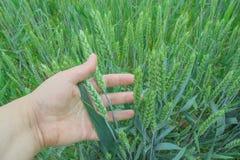 麦子的绿色耳朵在领域和一个人的手的拿着他们 免版税库存照片