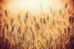 麦子的美丽的金黄耳朵在麦田的在日落打开背景,关闭 农业农场 免版税库存图片