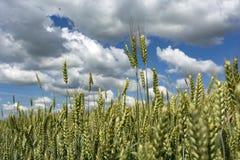 麦子的耳朵反对天空的与云彩 图库摄影
