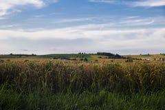 麦子的耳朵反对领域和房子背景的有雀鳝的 库存图片