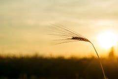 麦子的耳朵在日落的 图库摄影