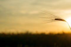 麦子的耳朵在日落的 免版税库存照片