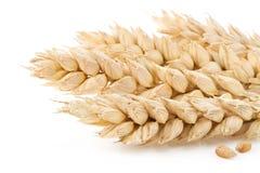 麦子的耳朵在白色的 库存照片