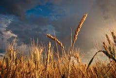 麦子的耳朵在背景天空的与云彩 库存照片