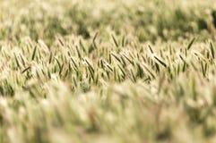 麦子的耳朵在自然的 免版税库存照片