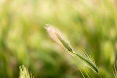 麦子的耳朵在自然的 库存照片