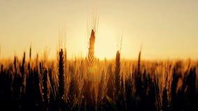 麦子的耳朵在黎明 股票视频