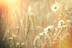 麦子的耳朵-美丽的麦田和雏菊花由阳光点燃了 免版税图库摄影