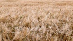 麦子的耳朵 影视素材