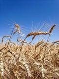 麦子的耳朵 库存照片